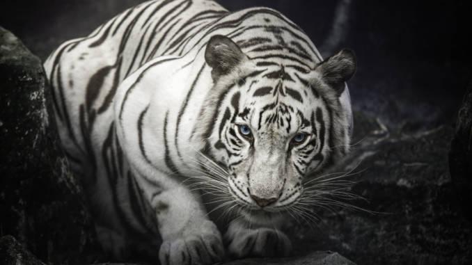 biały-tygrys.jpg