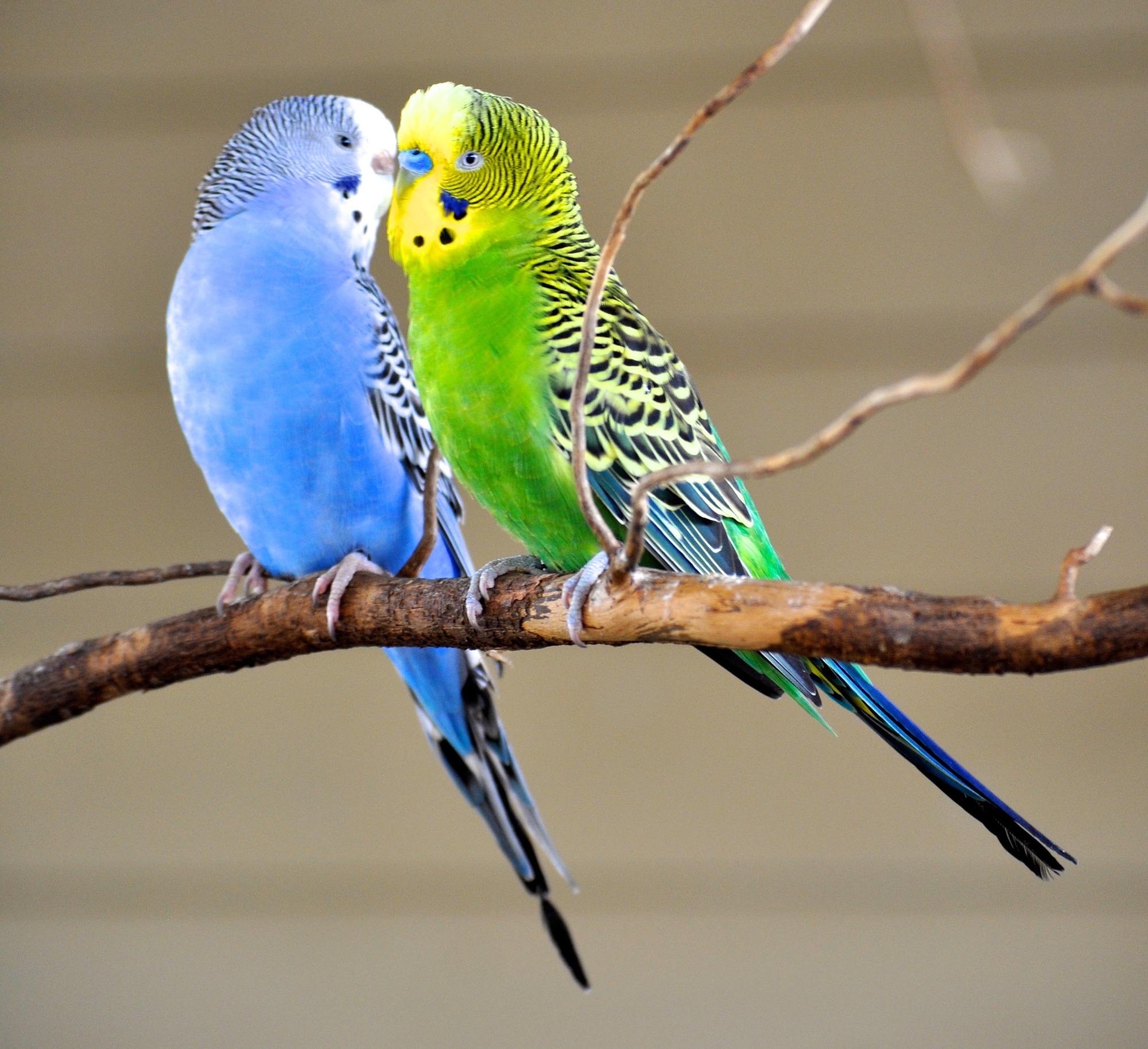 papużki-faliste.jpg