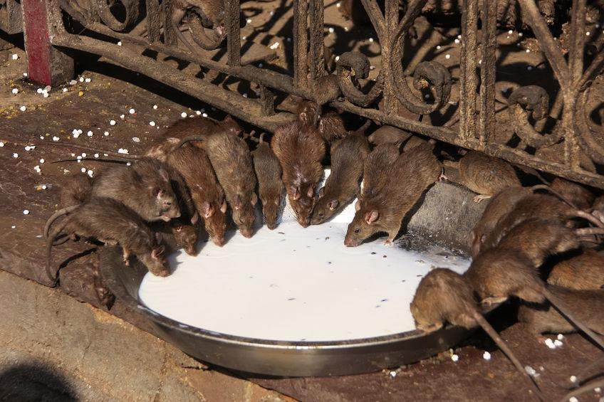 karni-mata-szczury-rat.jpg