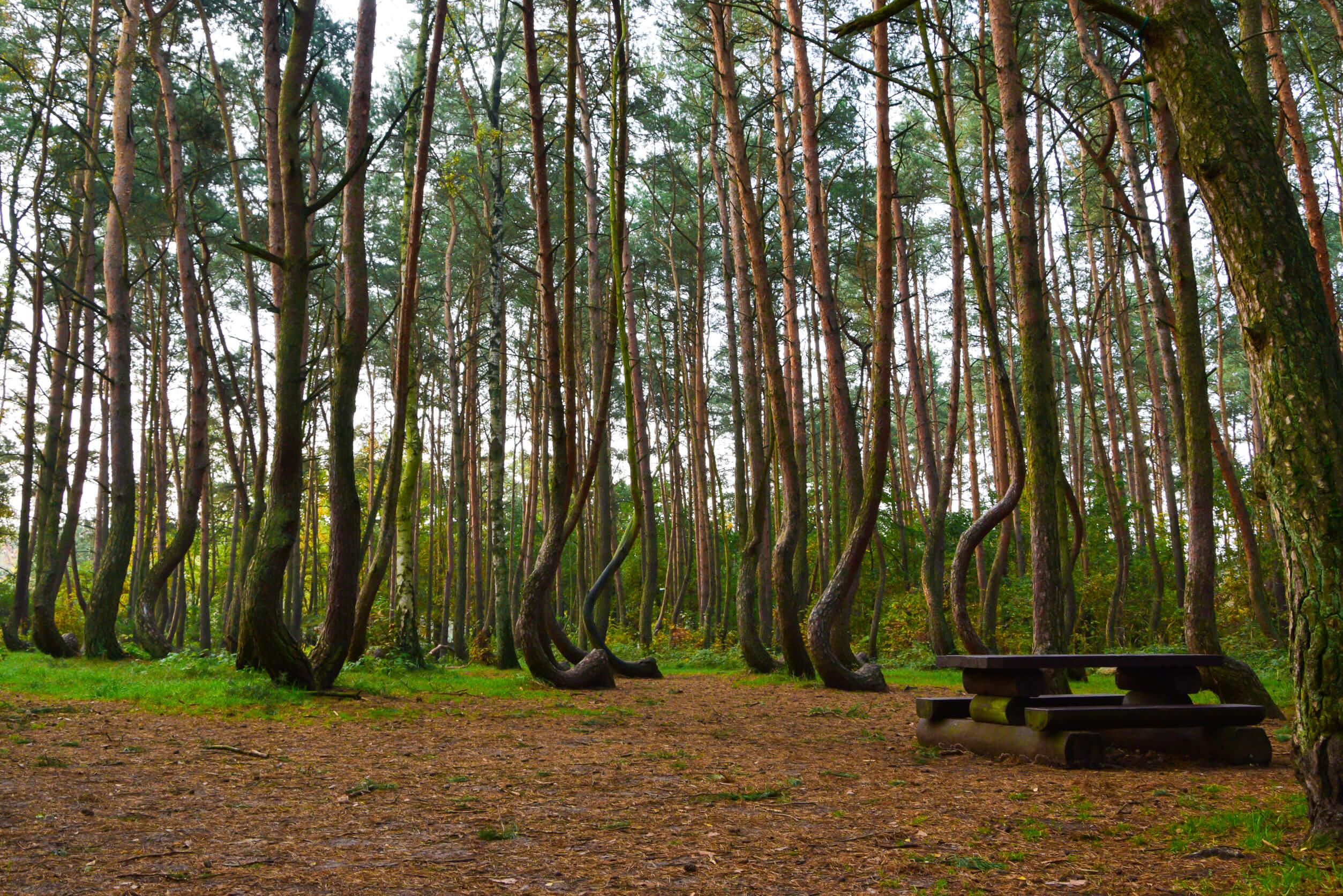 krzywy-las.jpg