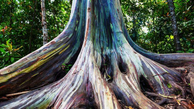 tęczowe-eukaliptusy.jpg
