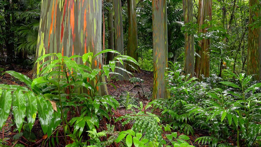 tęczowy-eukaliptus.jpg