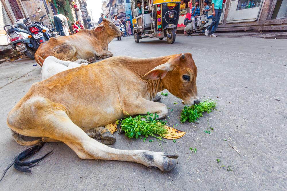 święte-krowy.jpg